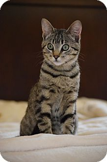 Domestic Shorthair Kitten for adoption in El Dorado Hills, California - Rascal