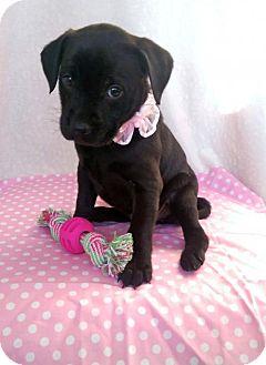 Labrador Retriever Mix Puppy for adoption in Newark, Delaware - Leslie