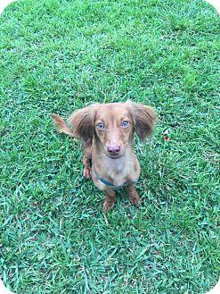 Dachshund Mix Dog for adoption in Hollywood, Florida - STELLA