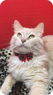 Maine Coon Cat for adoption in Houston, Texas - Sebastian