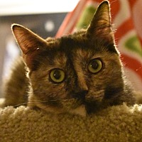 Adopt A Pet :: Francey (Lap Kitty, <3 dogs) - Rancho Cucamonga, CA