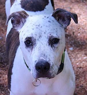 Pit Bull Terrier Mix Dog for adoption in O Fallon, Illinois - Champ