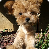 Adopt A Pet :: Sunshine-ON HOLD - Bridgeton, MO