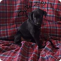 Adopt A Pet :: Puppy Bowser - Brattleboro, VT