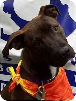 Pit Bull Terrier Mix Dog for adoption in Wayne, New Jersey - Kuma