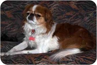 Japanese Chin Dog for adoption in Toronto/Etobicoke/GTA, Ontario - Rohan-tiny!