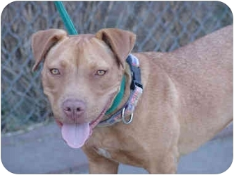 American Staffordshire Terrier/American Pit Bull Terrier Mix Dog for adoption in Bellflower, California - Hannah