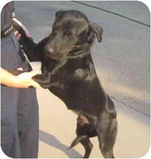 Labrador Retriever Mix Dog for adoption in Stillwater, Oklahoma - Romeo