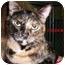 Photo 1 - Domestic Mediumhair Cat for adoption in Slidell, Louisiana - Cinder