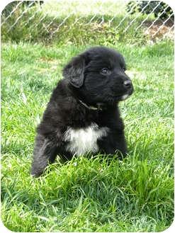 Golden Retriever Mix Puppy for adoption in Hamburg, Pennsylvania - Black Jack