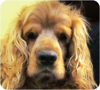 Cocker Spaniel Dog for adoption in Santa Barbara, California - Magnus