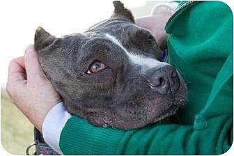 American Staffordshire Terrier Mix Dog for adoption in San Diego, California - Karma