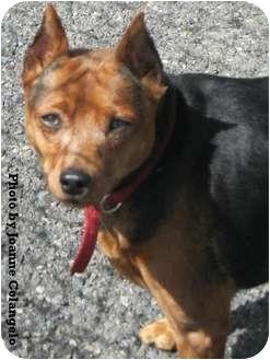 Miniature Pinscher Dog for adoption in Carmel, New York - Cookie