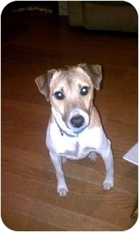 Jack Russell Terrier Dog for adoption in Houston, Texas - Kano in Port Lavaca
