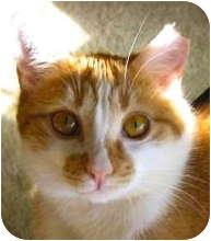 Domestic Shorthair Cat for adoption in Atlanta, Georgia - Chester