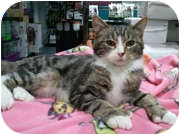 Maine Coon Cat for adoption in Anchorage, Alaska - Donovan
