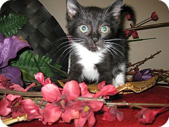 Domestic Shorthair Kitten for adoption in Clearfield, Utah - Mandalay