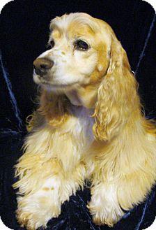 Cocker Spaniel Dog for adoption in Sugarland, Texas - Brody