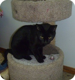 Domestic Shorthair Cat for adoption in Hamburg, New York - Zodiac