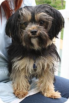 Yorkie, Yorkshire Terrier/Poodle (Toy or Tea Cup) Mix Dog for adoption in New Jersey, New Jersey - Wycoff NJ - Tootsie