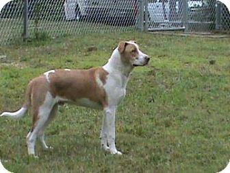 Labrador Retriever Mix Dog for adoption in Columbus, Georgia - Simba 2E22