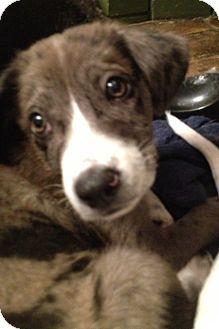 Australian Shepherd/Labrador Retriever Mix Puppy for adoption in ST LOUIS, Missouri - Puddles