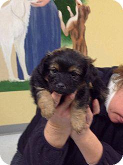 German Shepherd Dog/Labrador Retriever Mix Puppy for adoption in New Oxford, Pennsylvania - Tye