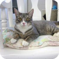 Domestic Shorthair Cat for adoption in San Leon, Texas - Roman
