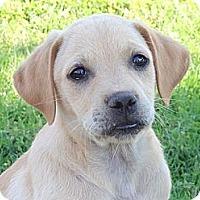 Adopt A Pet :: *Camery - PENDING - Westport, CT