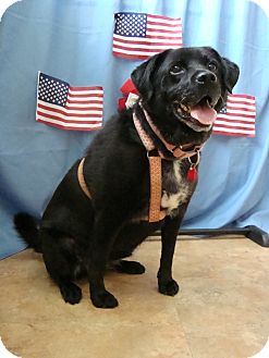 Border Collie/Labrador Retriever Mix Dog for adoption in Youngwood, Pennsylvania - Cubby