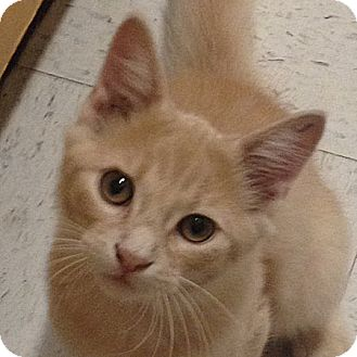 Domestic Longhair Kitten for adoption in Weatherford, Texas - Jack