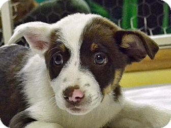 Blue Heeler Mix Puppy for adoption in Searcy, Arkansas - Dag