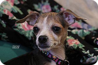 Chihuahua Mix Dog for adoption in Flushing, Michigan - Layla