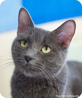 Domestic Shorthair Cat for adoption in Nashville, Tennessee - Paisley