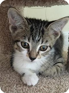 Domestic Shorthair Kitten for adoption in Hillside, Illinois - Cinderella - 9 WEEKS