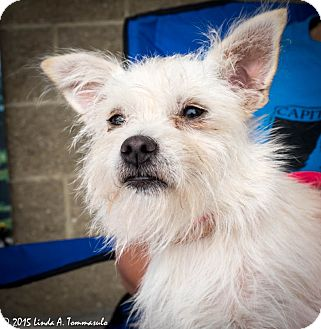 Westie, West Highland White Terrier Mix Puppy for adoption in Loudonville, New York - Lima