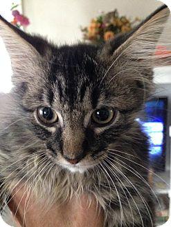 Maine Coon Kitten for adoption in Toledo, Ohio - Ingrid