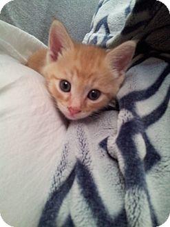 Domestic Shorthair Kitten for adoption in Mesa, Arizona - Luna