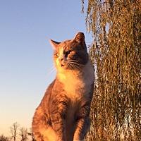 Domestic Shorthair Cat for adoption in Carlisle, Pennsylvania - ScoobyCP