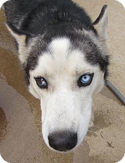 Siberian Husky Dog for adoption in Memphis, Tennessee - Nashoba