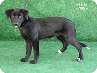 Labrador Retriever/Border Collie Mix Puppy for adoption in cupertino, California - Stargazer