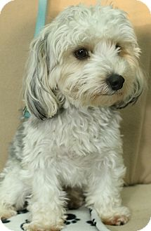 Bichon Frise/Yorkie, Yorkshire Terrier Mix Dog for adoption in London, Ontario - Mork