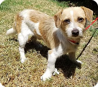 Jack Russell Terrier/Terrier (Unknown Type, Small) Mix Dog for adoption in Los Angeles, California - Buddy