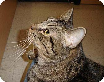 Domestic Shorthair Cat for adoption in Garland, Texas - Chloe