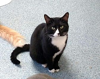 Domestic Shorthair Cat for adoption in Fremont, Ohio - L.B.