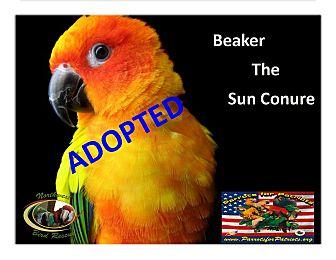 Conure for adoption in Vancouver, Washington - Beaker the Sun Conure