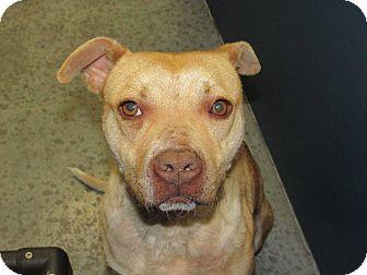 Pit Bull Terrier/Labrador Retriever Mix Dog for adoption in Henderson, North Carolina - Dice (HW Neg)*