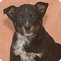 Adopt A Pet :: Chubs - Elmwood Park, NJ