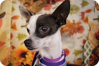 Chihuahua Mix Dog for adoption in Pittsburgh, Pennsylvania - Rory