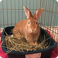 Adopt A Pet :: Buttercup - Oak Park, IL